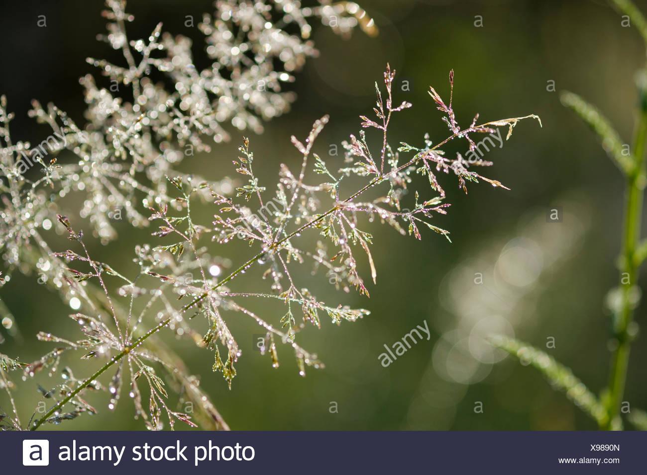 Tautropfen auf Grasblüten, Naturschutzgebiet Isarauen, Bayern, Deutschland - Stock Image