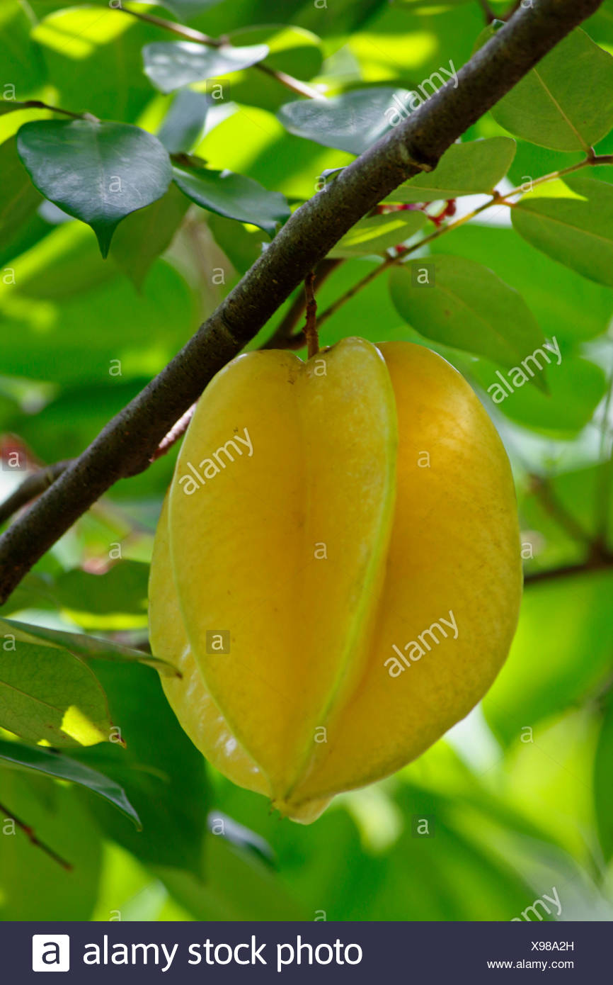 starfruit, carambola fruit, bilimbi, belimbing, Chinese star fruit, five-angled fruit, star apple (Averrhoa carambola), ripe fruit at a tree, Seychelles - Stock Image