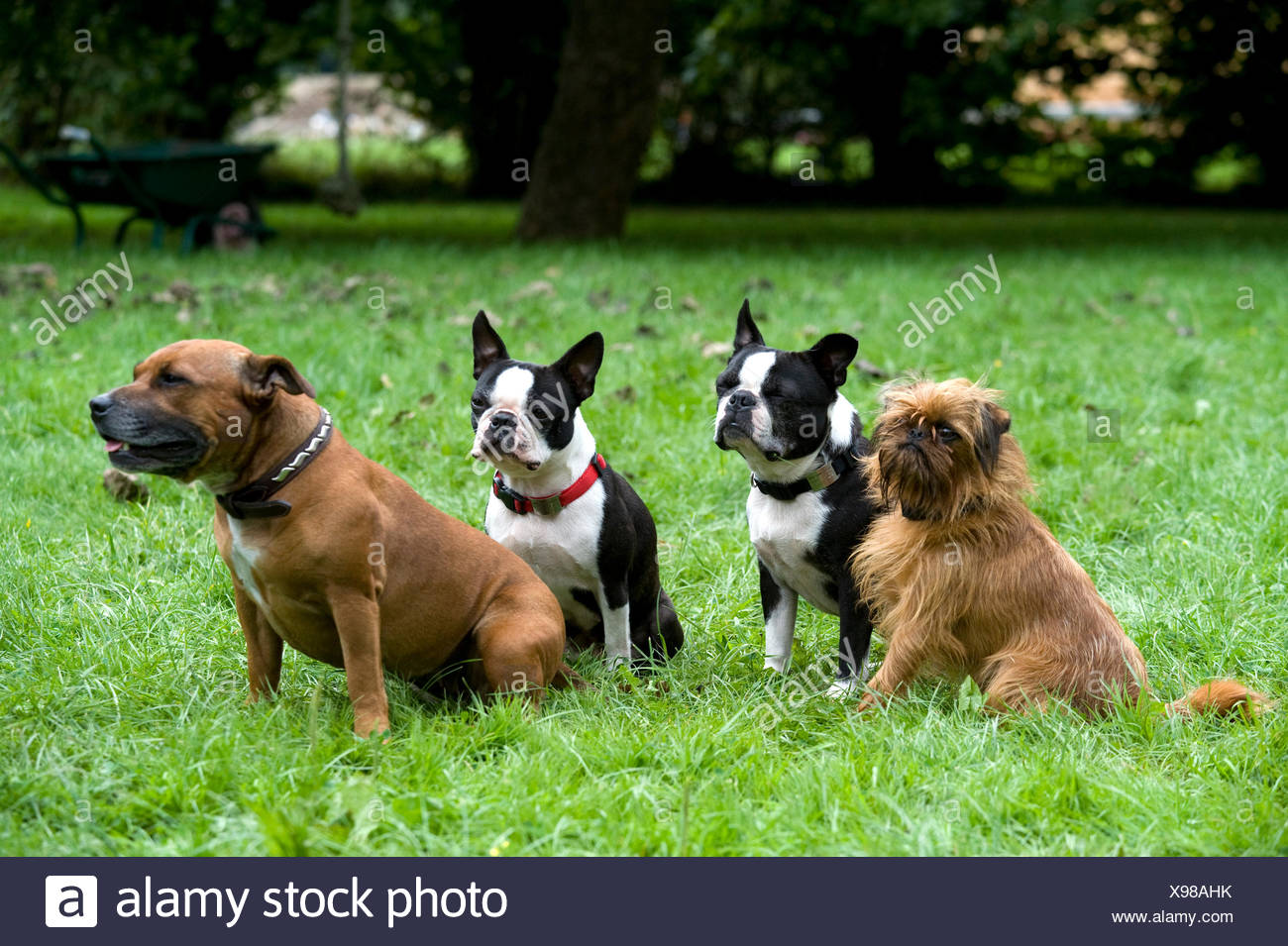 Staffordshire Bull Terrier, pair of Boston Terriers & Griffon Bruxellois / Griffon Belge, sitting together in garden, UK - Stock Image
