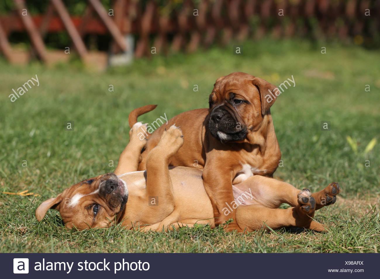 Olde English Bulldogs - Stock Image