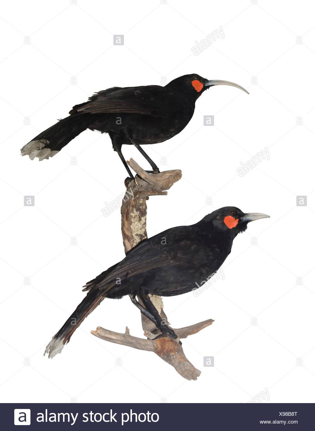 Huia Heteralocha acutirostris.  extinct species of New Zealand wattlebird, endemic to the North Island of New Zealand. The last confirmed sighting of  - Stock Image