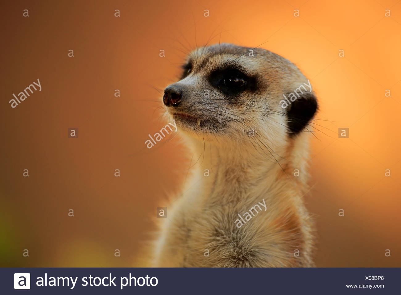 Suricate, taking sunbath in morning hours to warm up, Tswalu Game Reserve, Kalahari, Northern Cape, South Africa, Africa / - Stock Image