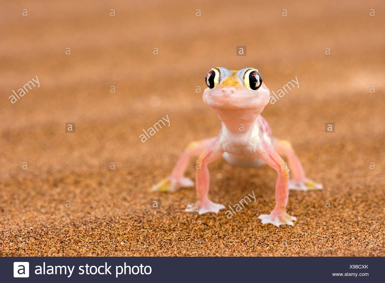 Web-footed Gecko (Palmatogecko rangei) sand Namib desert Namib-Naukluft National Park, Namibia Stock Photo