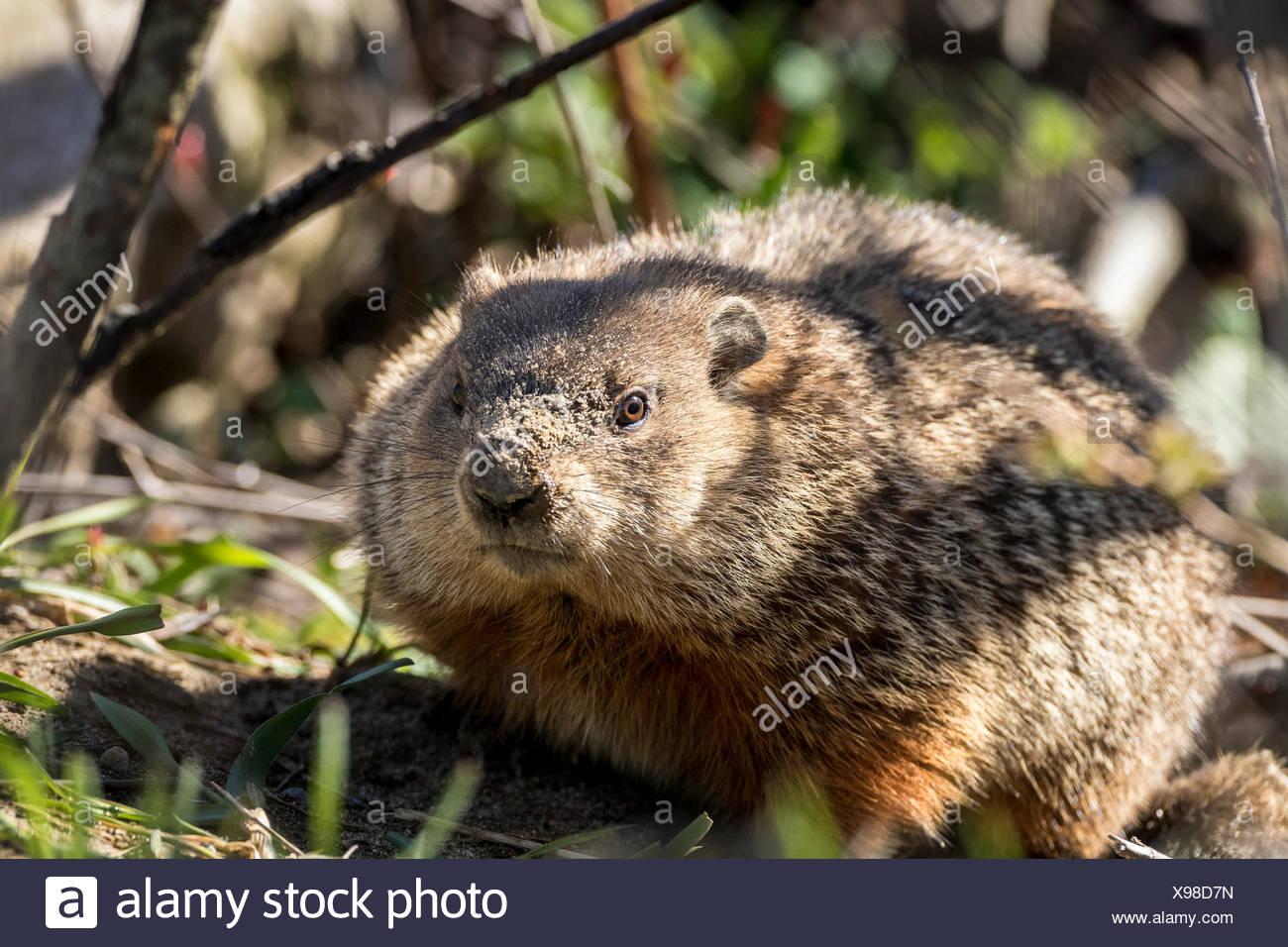 Groundhog or Woodchuck (Marmota monax), Barrie Island, Manitoulin Island, Ontario, Canada - Stock Image