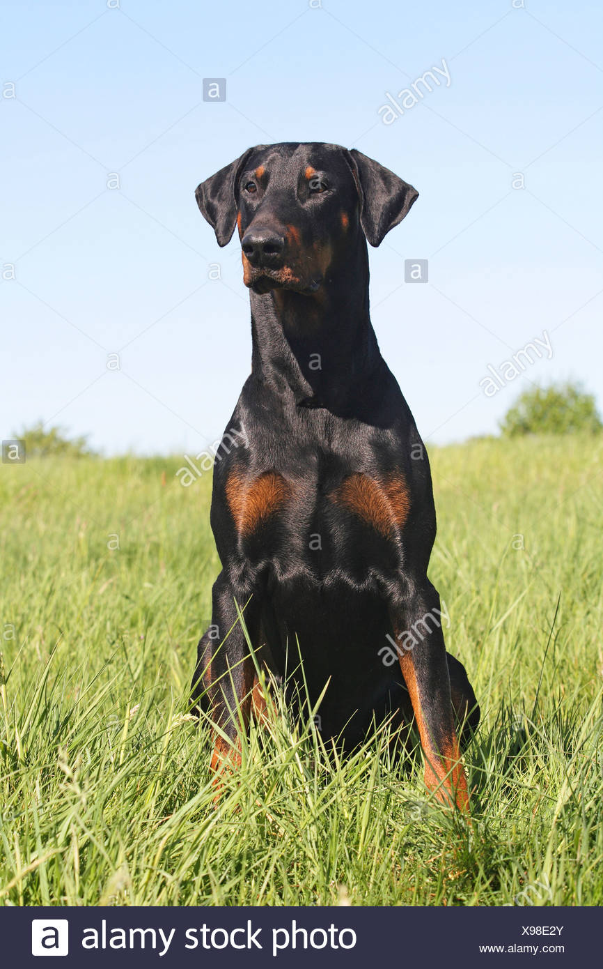 Doberman Pinscher dog - sitting on meadow - Stock Image