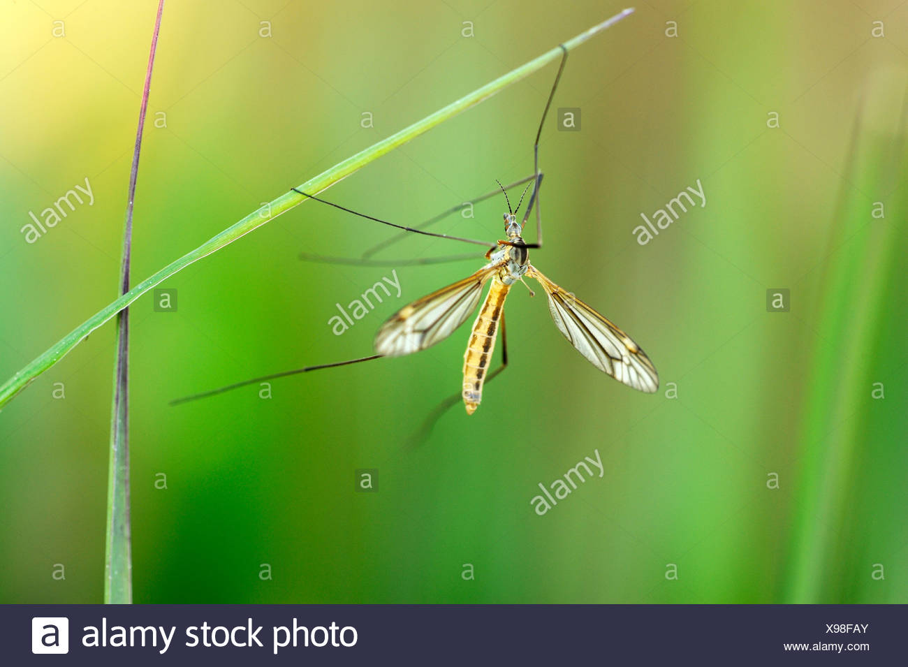 Cranefly (Tipula oleracea) hanging on a blade of grass - Stock Image