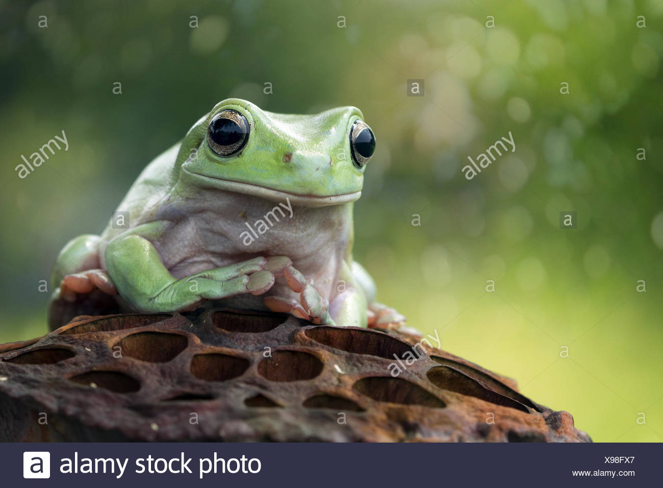 Frog sitting on a dried lotus seed cup - Stock Image