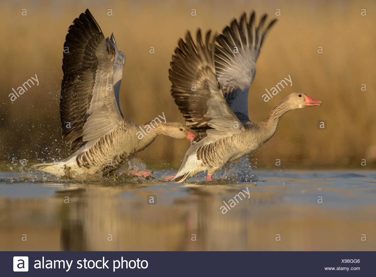 Greylag geese (Anser anser), territorial fight, two dominant males, Kiskunság National Park, Hungary - Stock Image