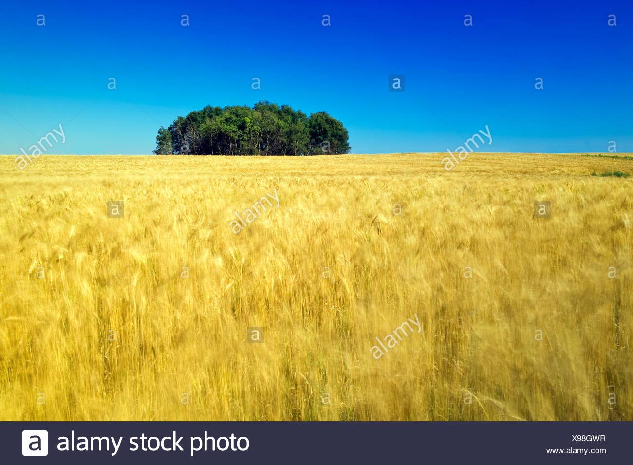 Grain field. Manor, Saskatchewan, Canada - Stock Image