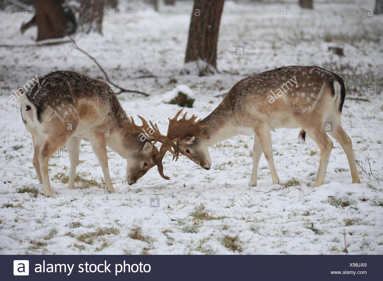 Fallow deer, rut in the snow, Dama dama - Stock Image