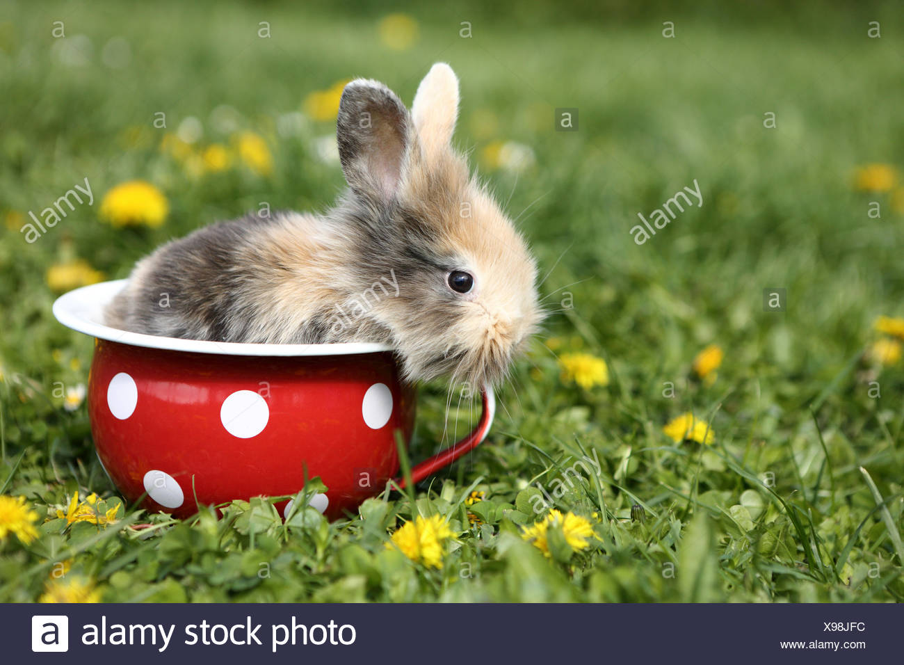 Dwarf Rabbit. Young in a red chamber pot with white polka dots, in a flowering meadow. Germany - Stock Image