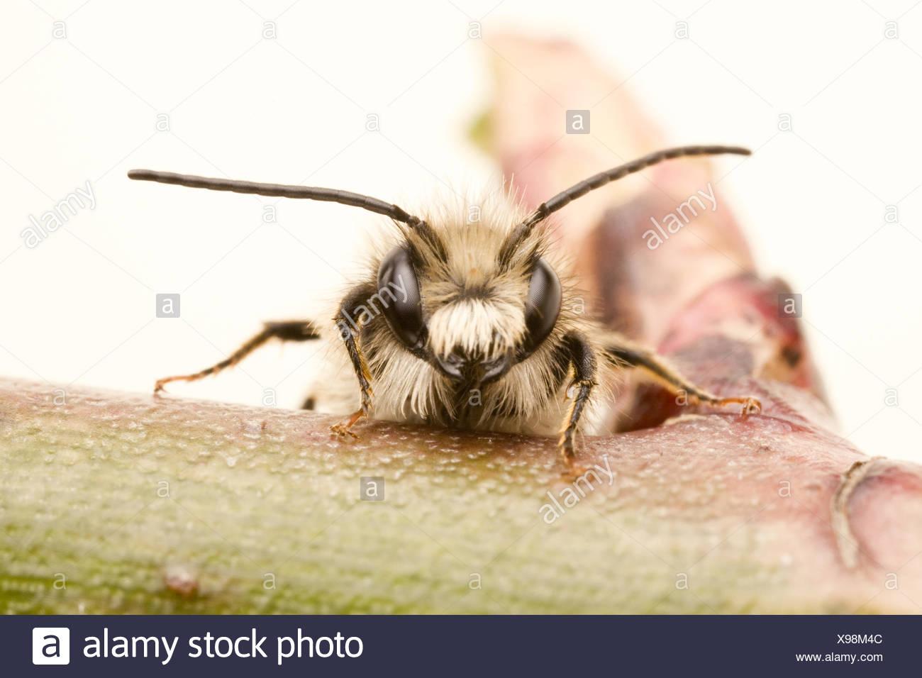 mason bee - mason bees (Osmia) - Stock Image