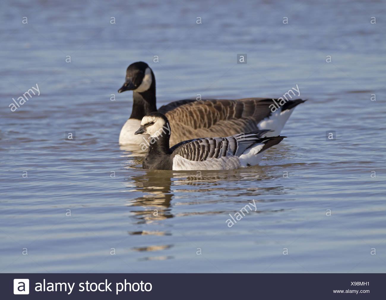 canada goose size comparison