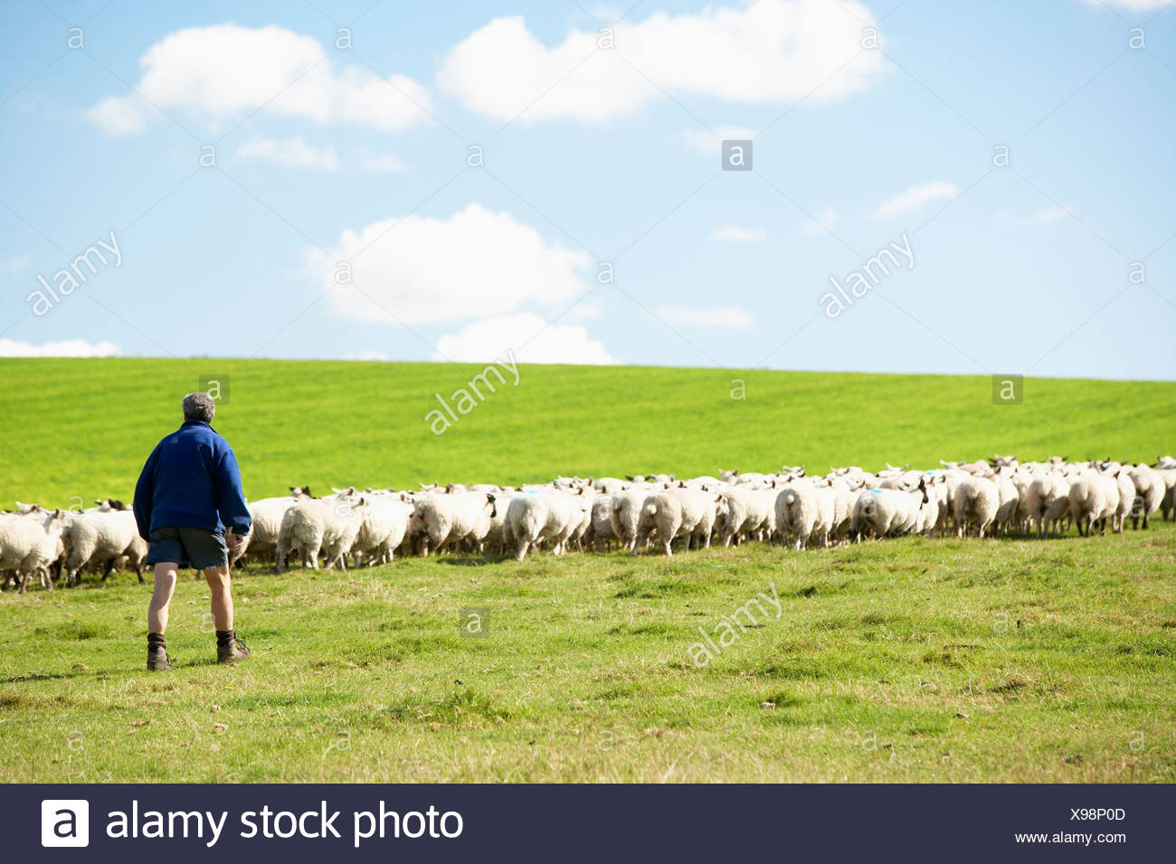 Farm Worker With Flock Of Sheep - Stock Image