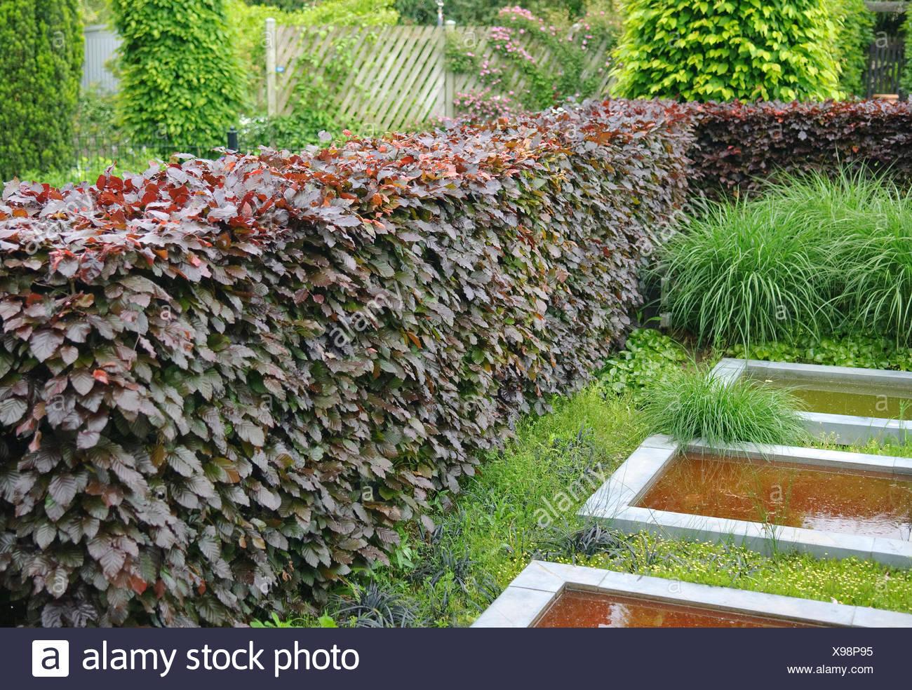 copper beech (Fagus sylvatica 'Purpurea Latifolia', Fagus sylvatica Purpurea Latifolia), cultivar Purpurea Latifolia, hedge in a park - Stock Image