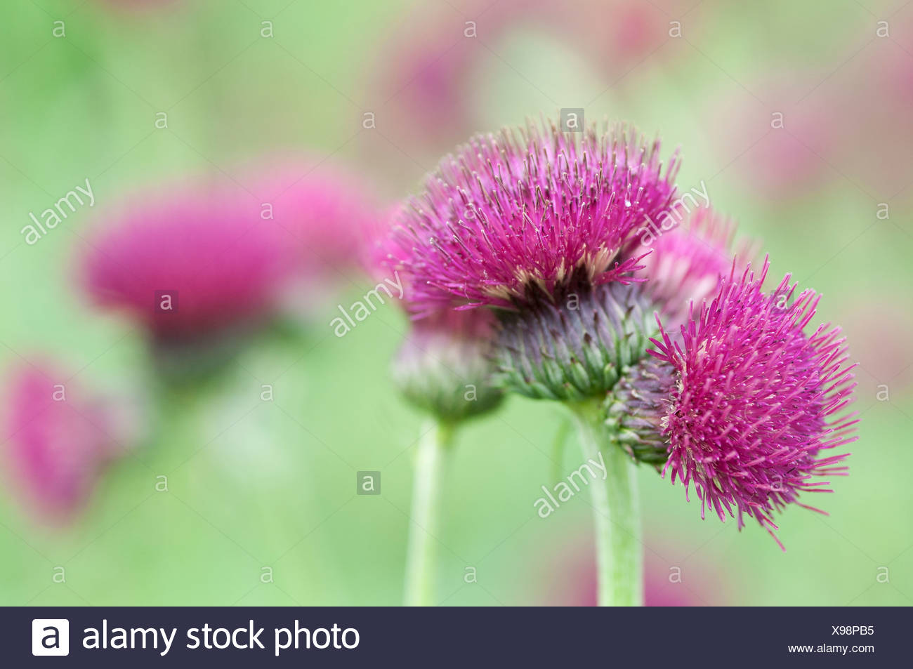 Cirsium rivulare Atropurpureum, Thistle, Brook thistle, Purple flowers subject. - Stock Image