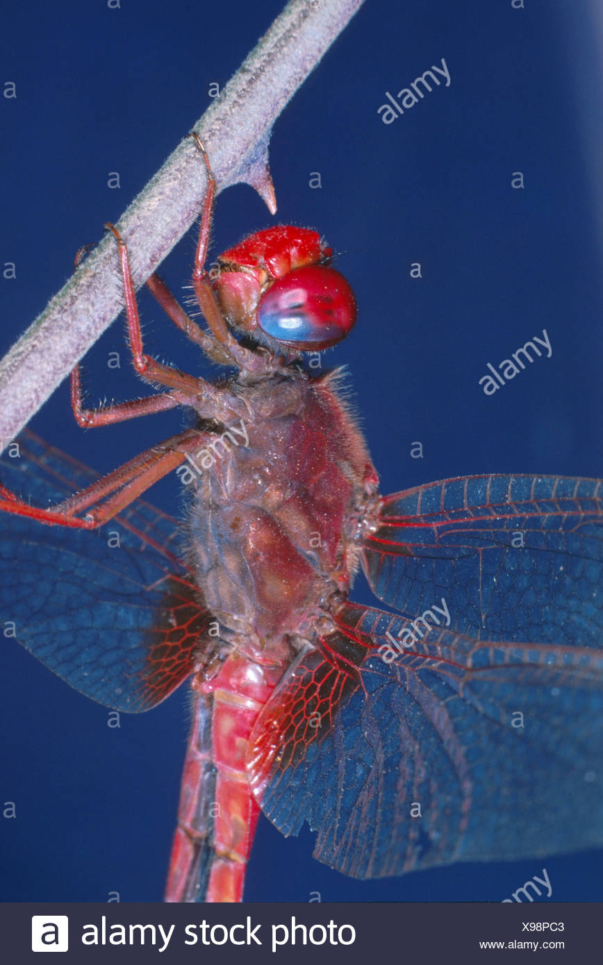 scarlet darter (Crocothemis erythraea), male Stock Photo