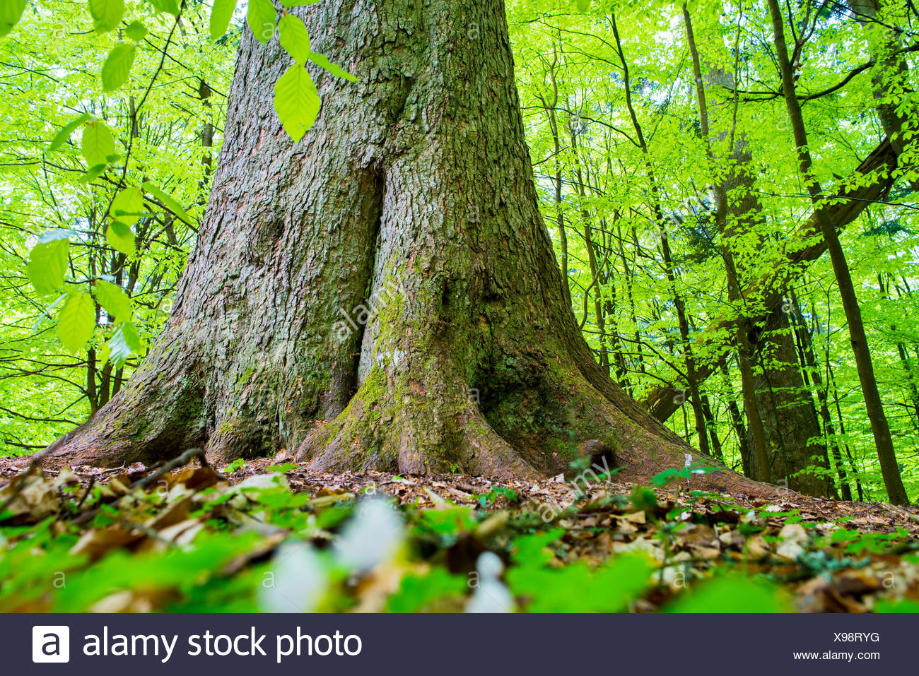 Primeval forest in the Bavarian forest National Park in Germany - Stock Image