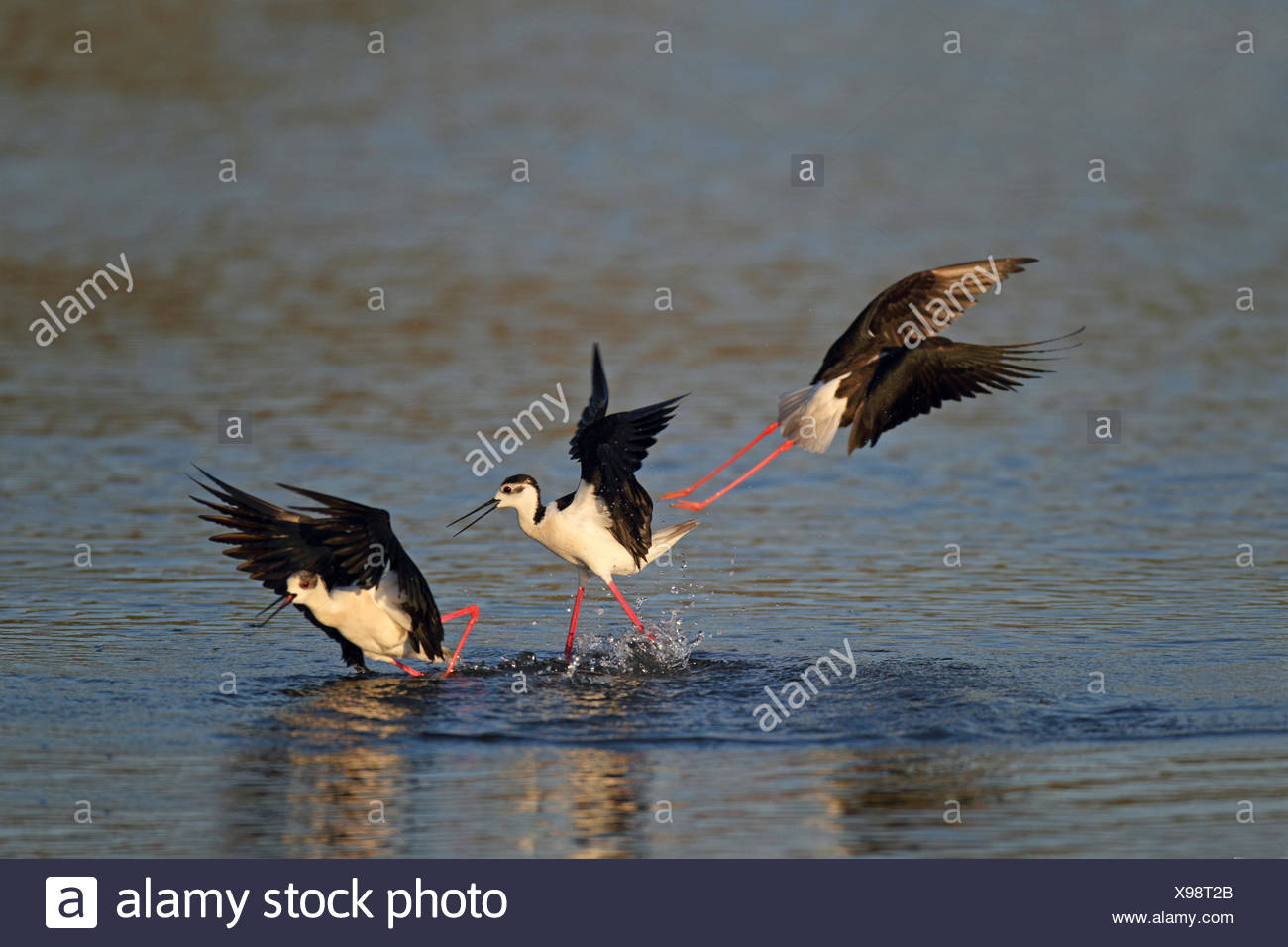 black-winged stilt (Himantopus himantopus), fight for the territory, Greece, Lesbos - Stock Image