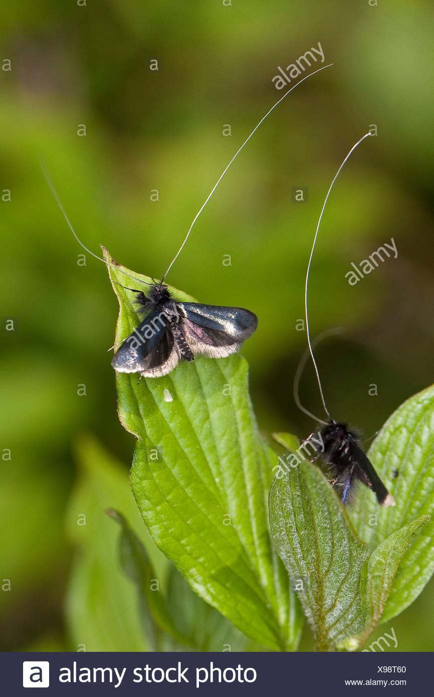 Green Longhorn, Green Long-horn (Adela reaumurella, Phalaena reaumurella, Phalaena viridella, Adela viridella), males on leaves, Germany - Stock Image
