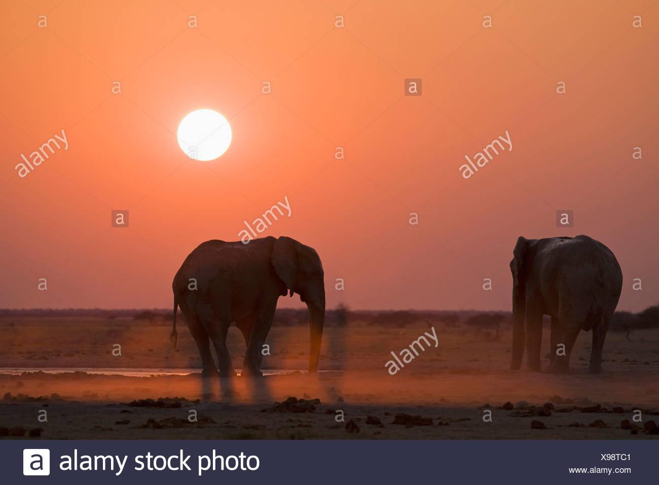 Africa, Sambia, African elephants (Loxodonta africana) - Stock Image