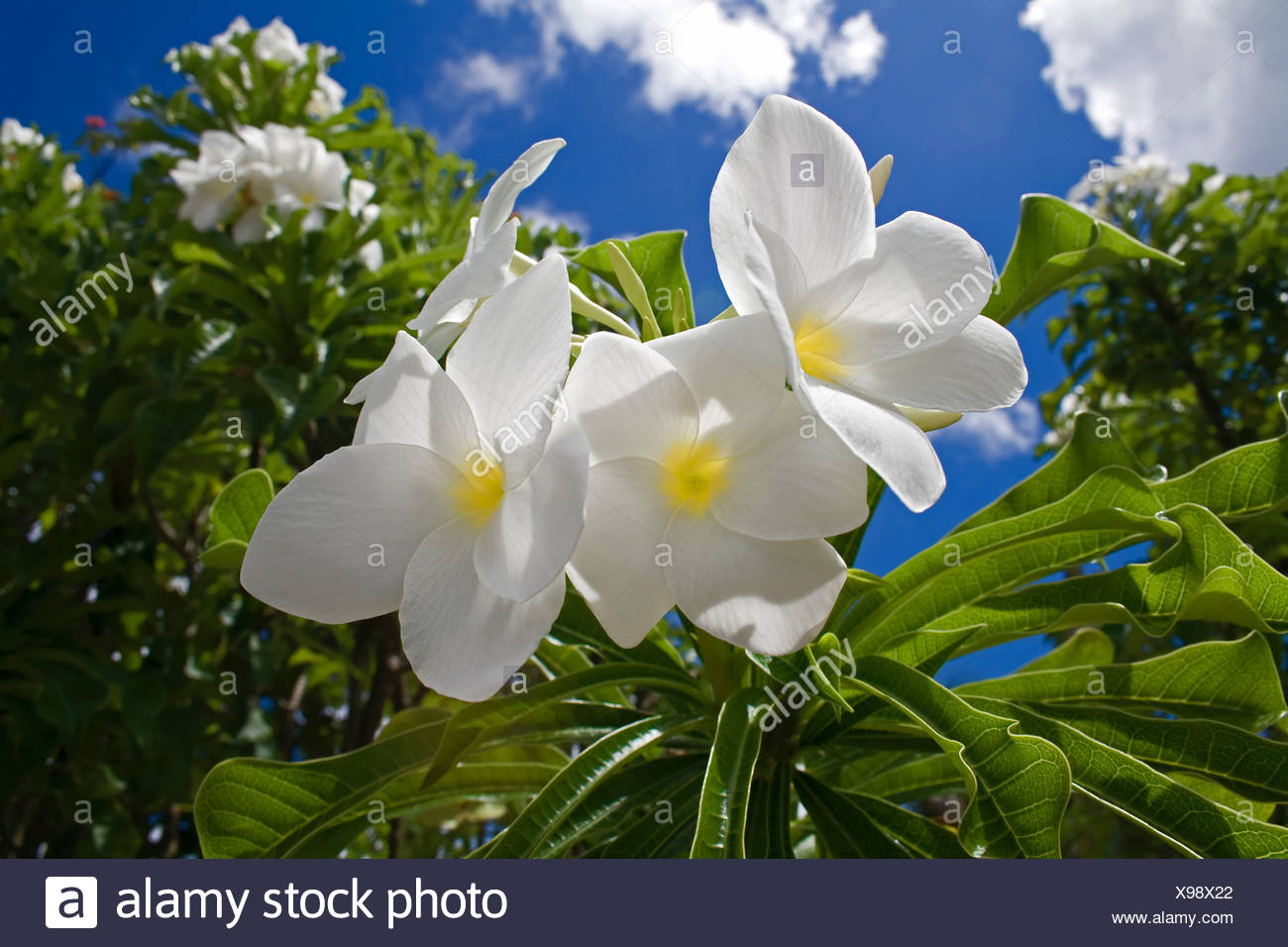 Kanna - flowers from the Antilles