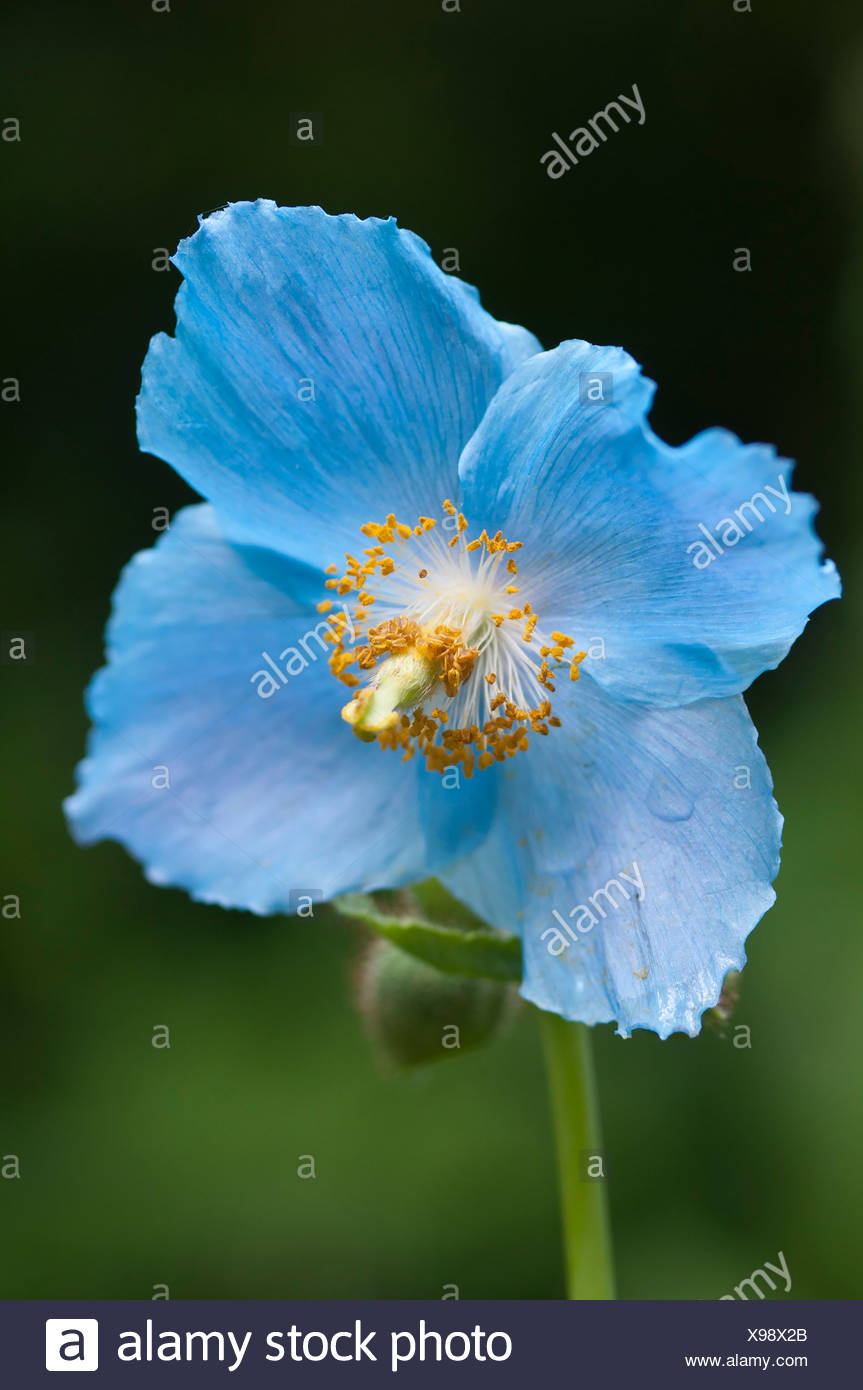 Meconopsis betonicifolia, Himalayan blue poppy flower against a green background. Stock Photo