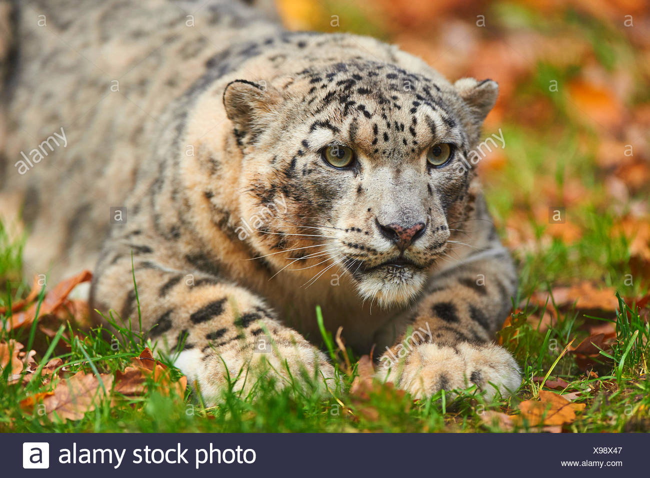 snow leopard (Uncia uncia, Panthera uncia), leopardess lying in a meadow - Stock Image