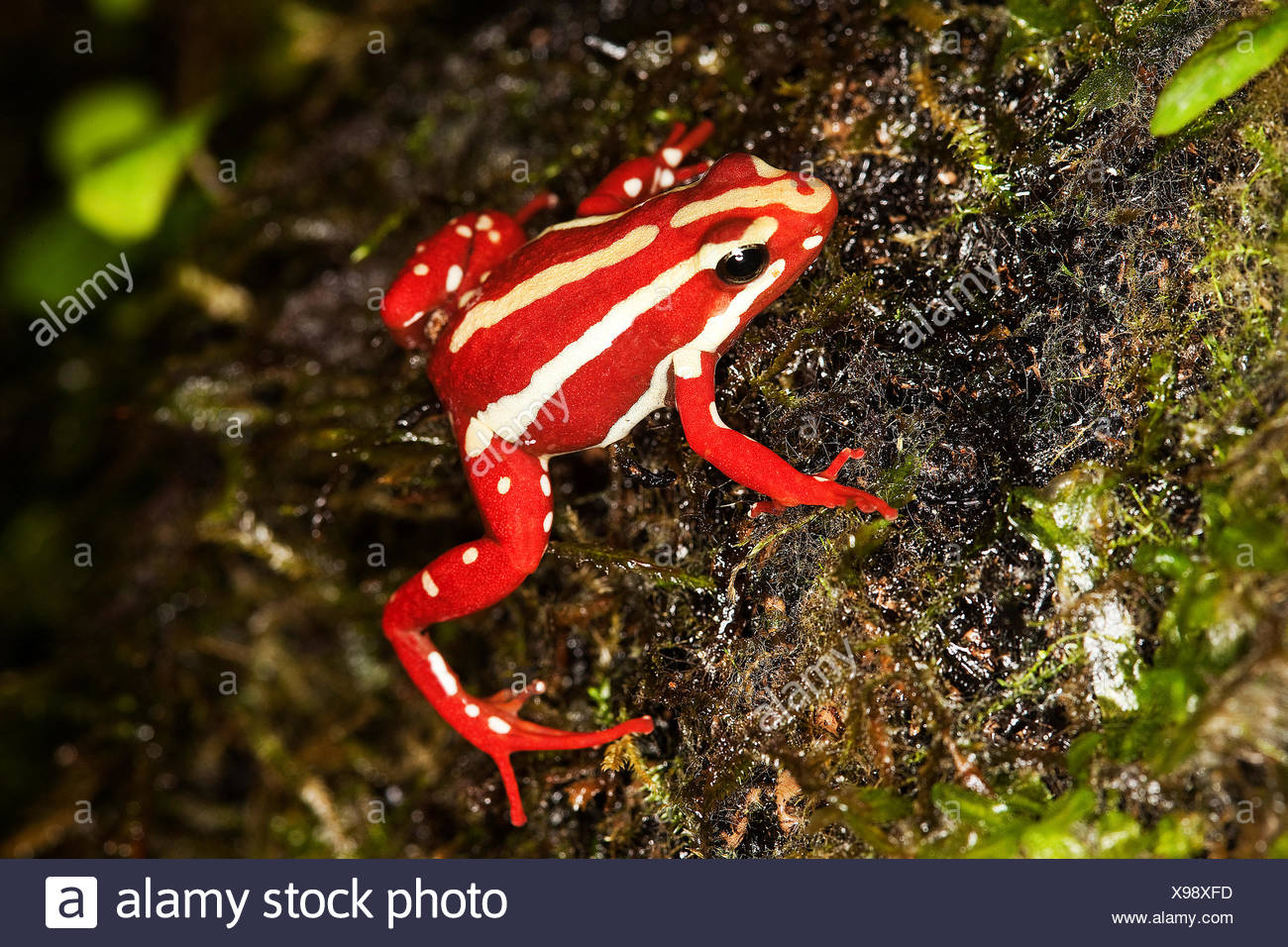 Phantasmal Poison Frog, epipedobates tricolor, Adult, Venomous Frog from South America - Stock Image