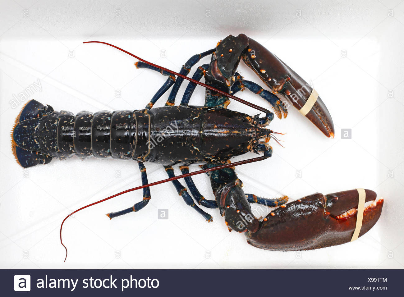 Live Lobster High Resolution Stock ...