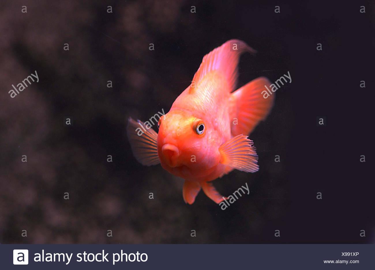 red parrot cichlid cichlasoma erythraeum stock photo 281096894 alamy