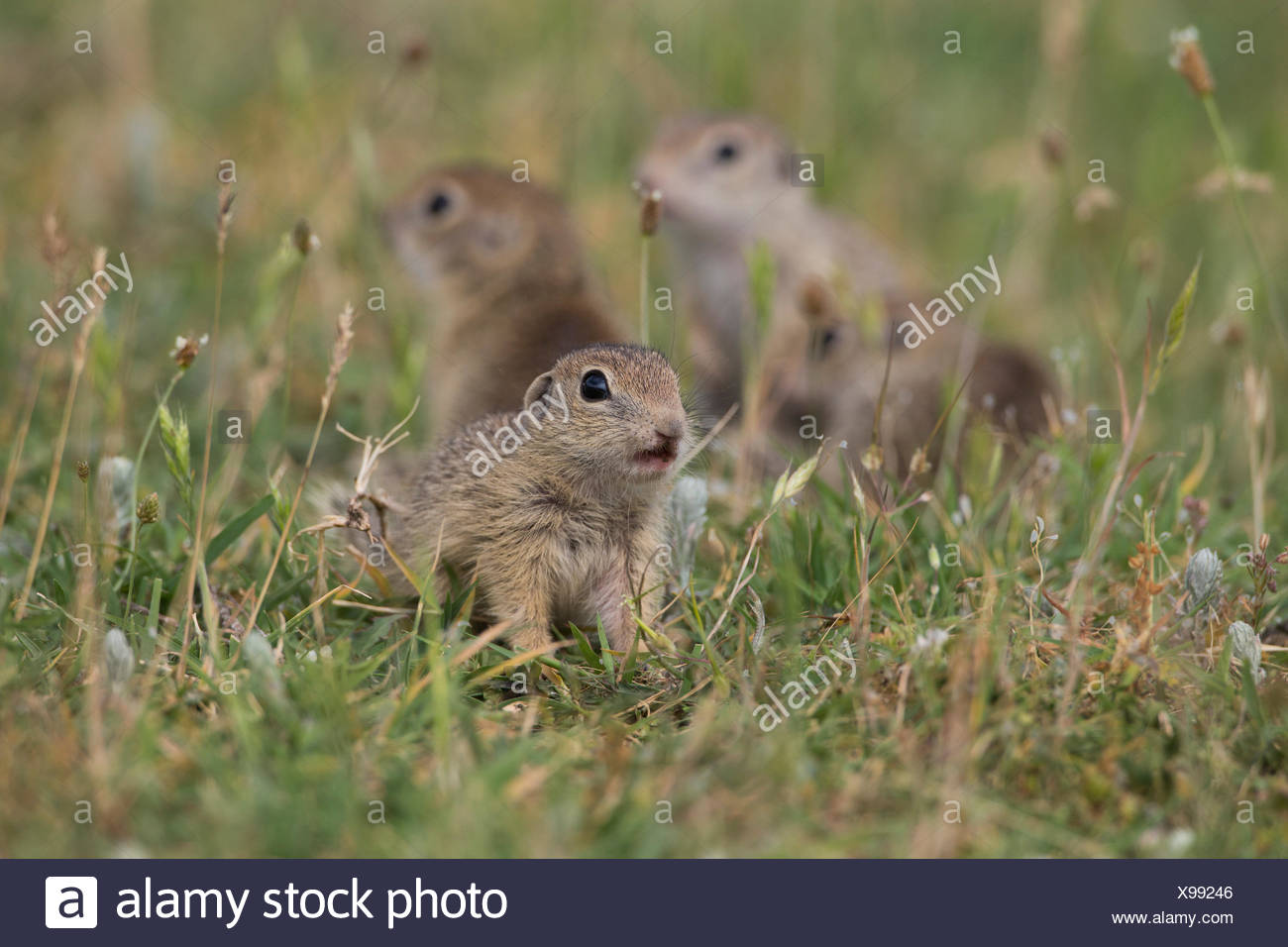 European souslik, Bulgary/ (Spermophilus citellus) Stock Photo