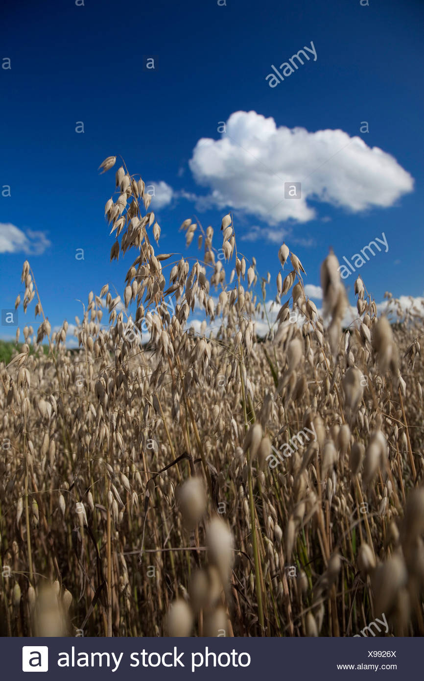 Germany, Bavaria, Oat field, close-up - Stock Image