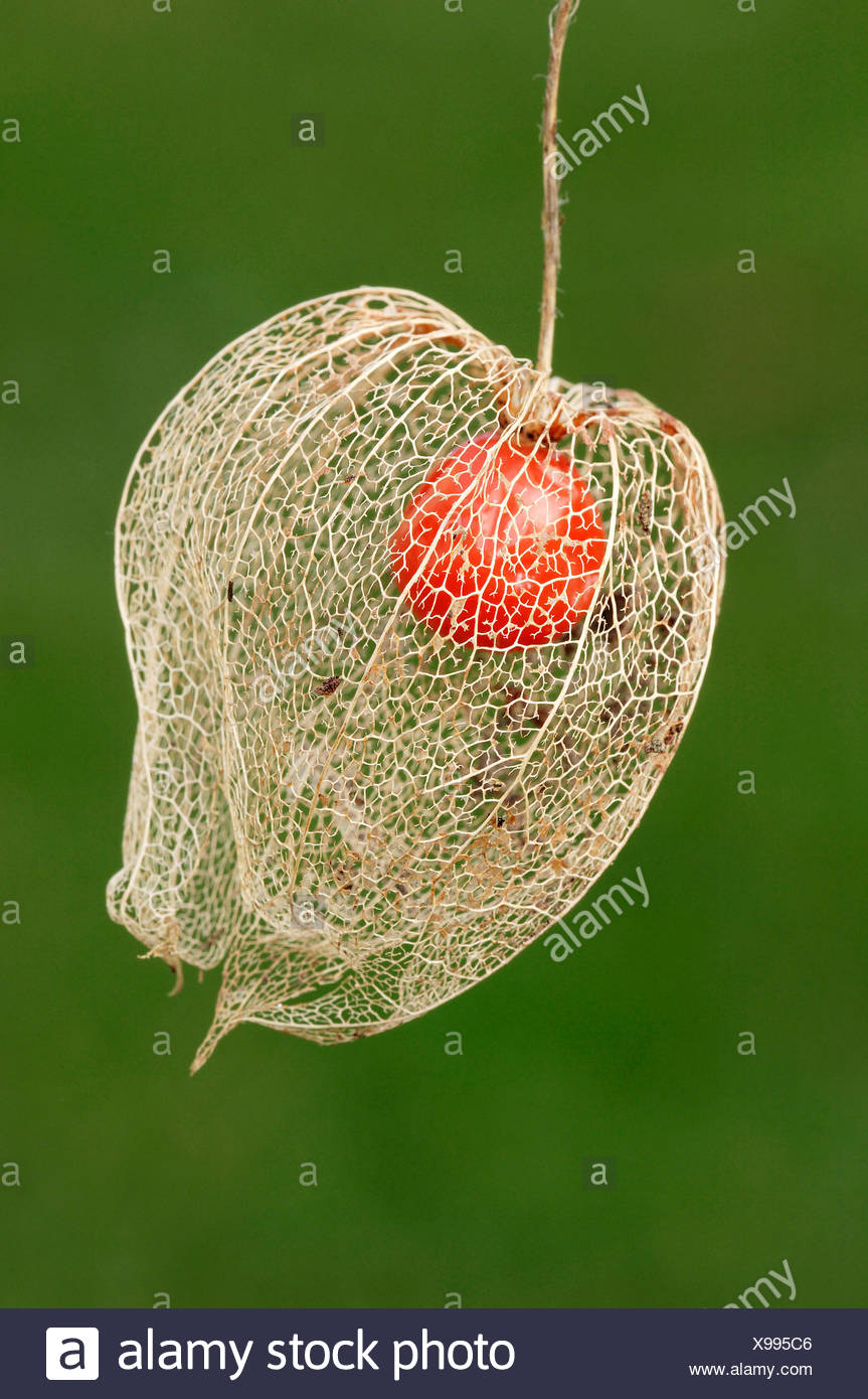 Japanese Lanterns, Chinese Lanterns (Physalis franchetii, Physalis alkekengi), fruit Stock Photo