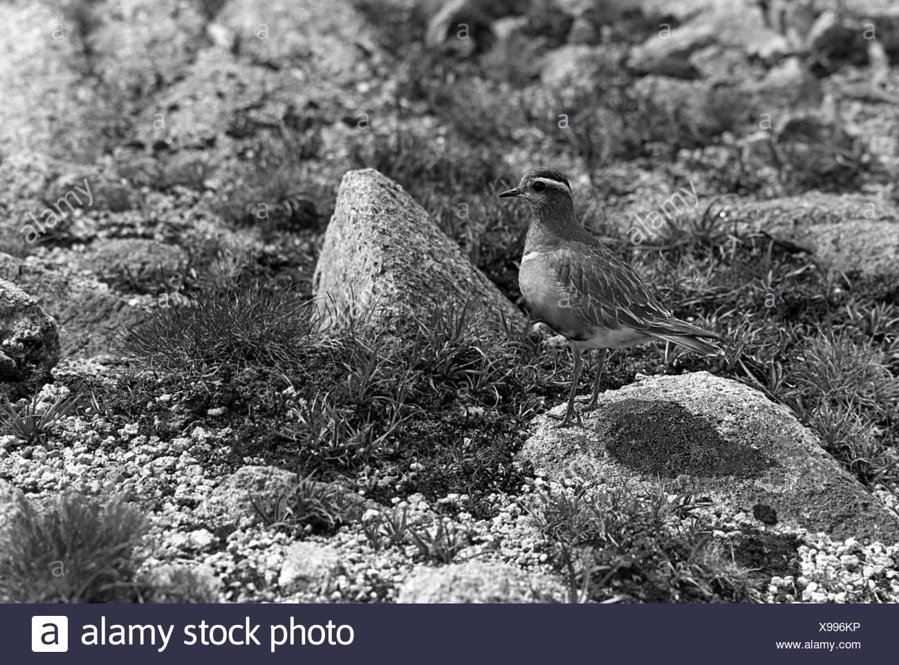 Dotterel - Braeriach Scotland. Taken in 1940 by Eric Hosking. - Stock Image