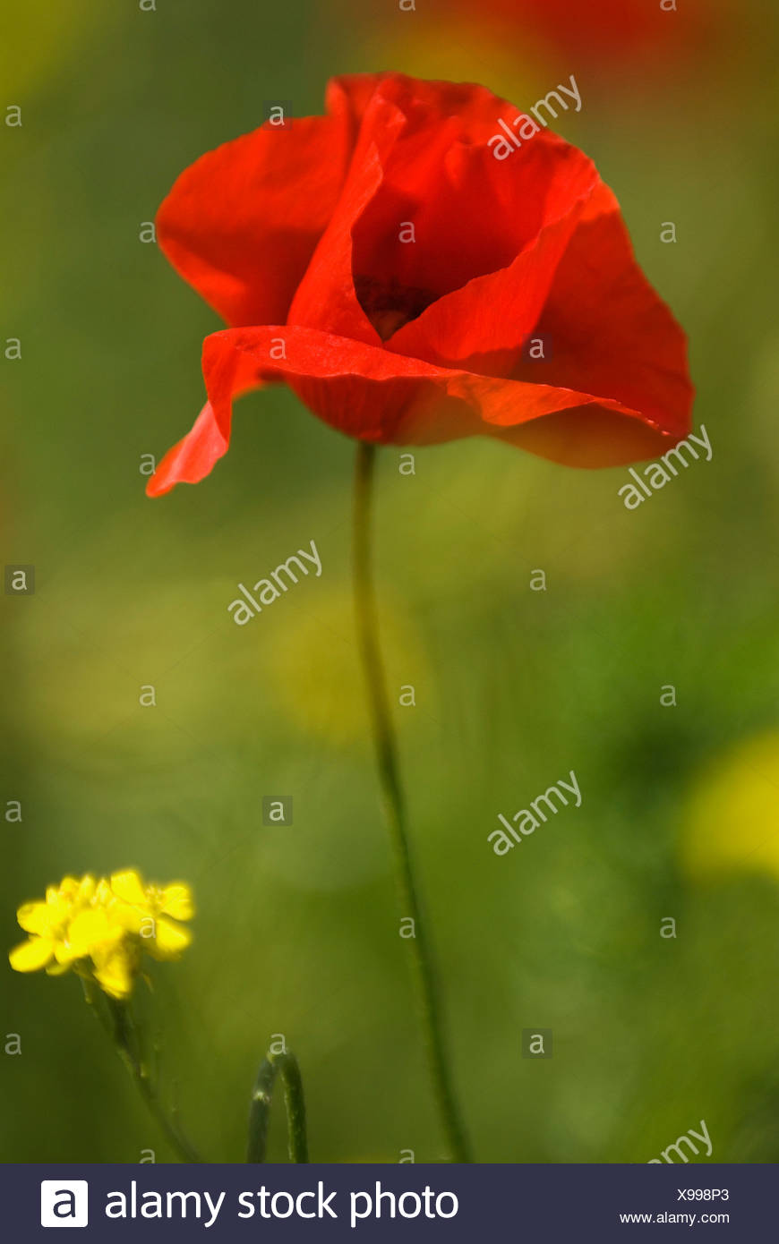 A red poppy blooming - Stock Image