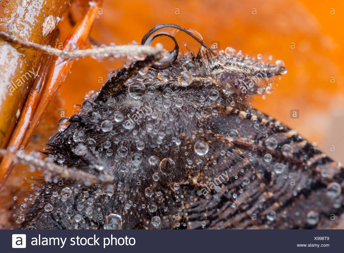 Peacock butterfly, European Peacock (Inachis io, Nymphalis io), covered with dewdrops, portrait, Germany, Bavaria, Niederbayern, Lower Bavaria - Stock Image