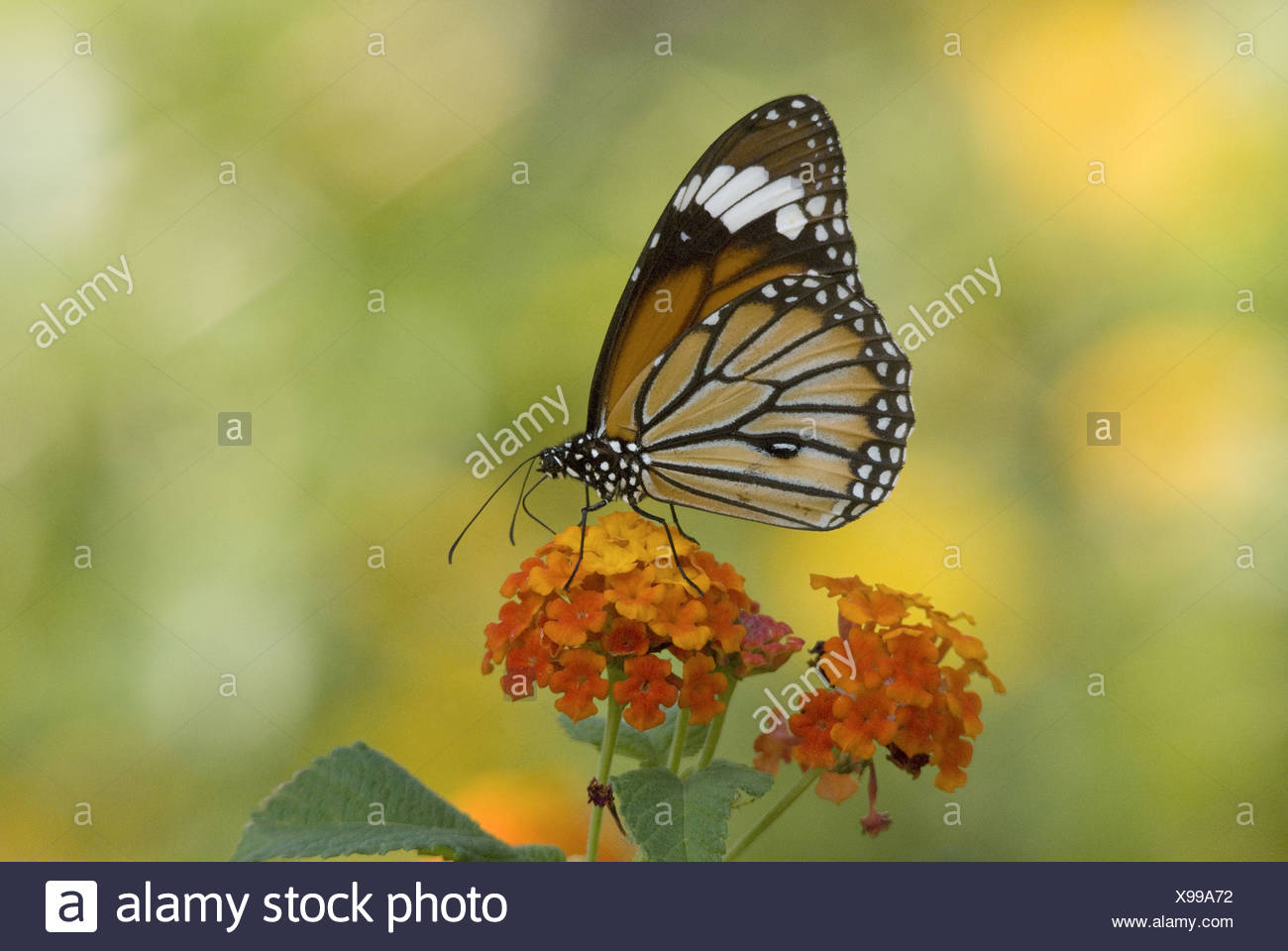 MONARCH BUTTERFLY Danaus plexippus Milkweed butterfly (subfamily Danainae), in the family Nymphalidae. On lantana tree Stock Photo