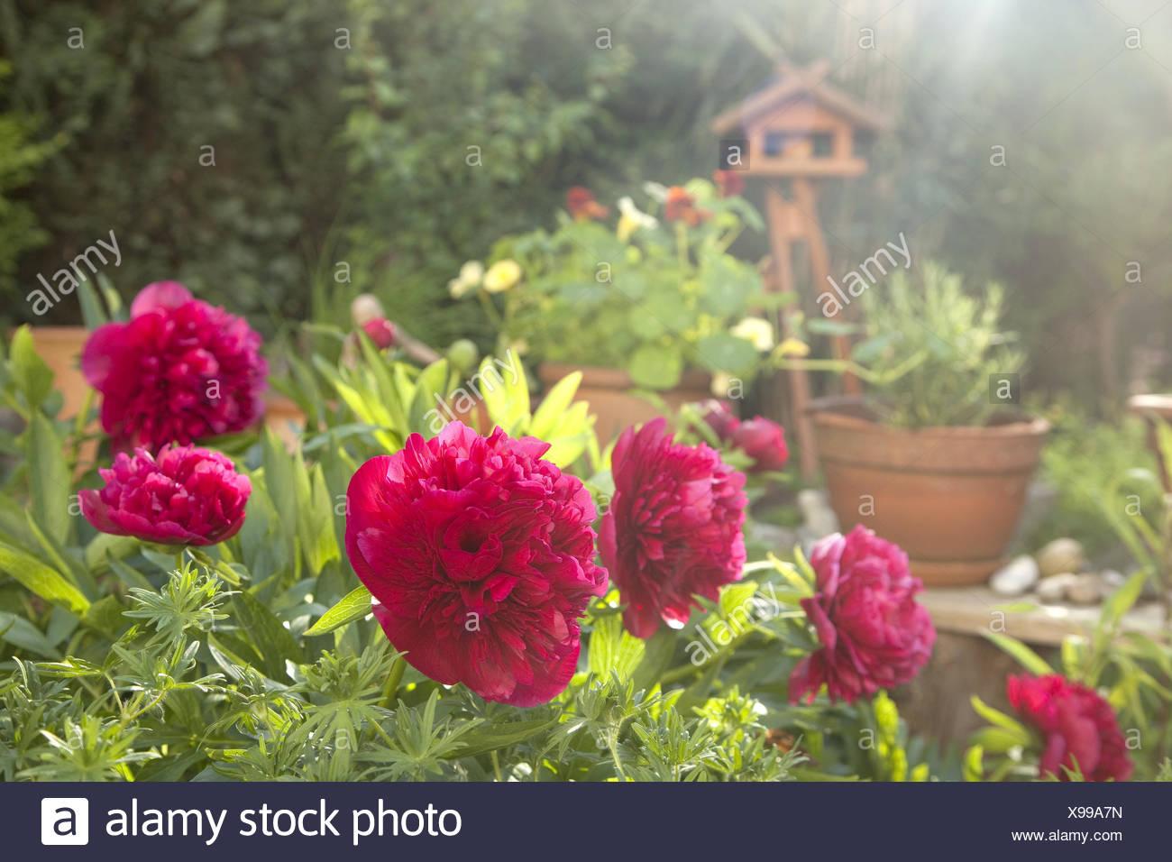 Garden, peonies, flowering, outdoor shot, garden, flowers, Paeonia, plant, flower, pink, - Stock Image