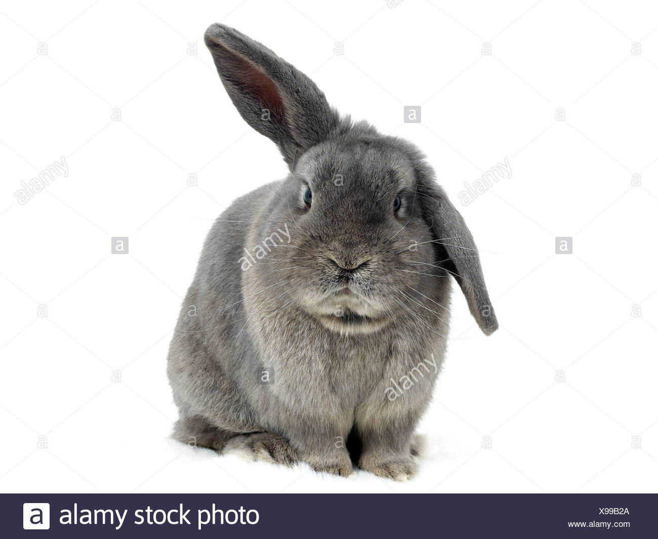 A sad looking pet rabbit with a damaged ear. - Stock Image