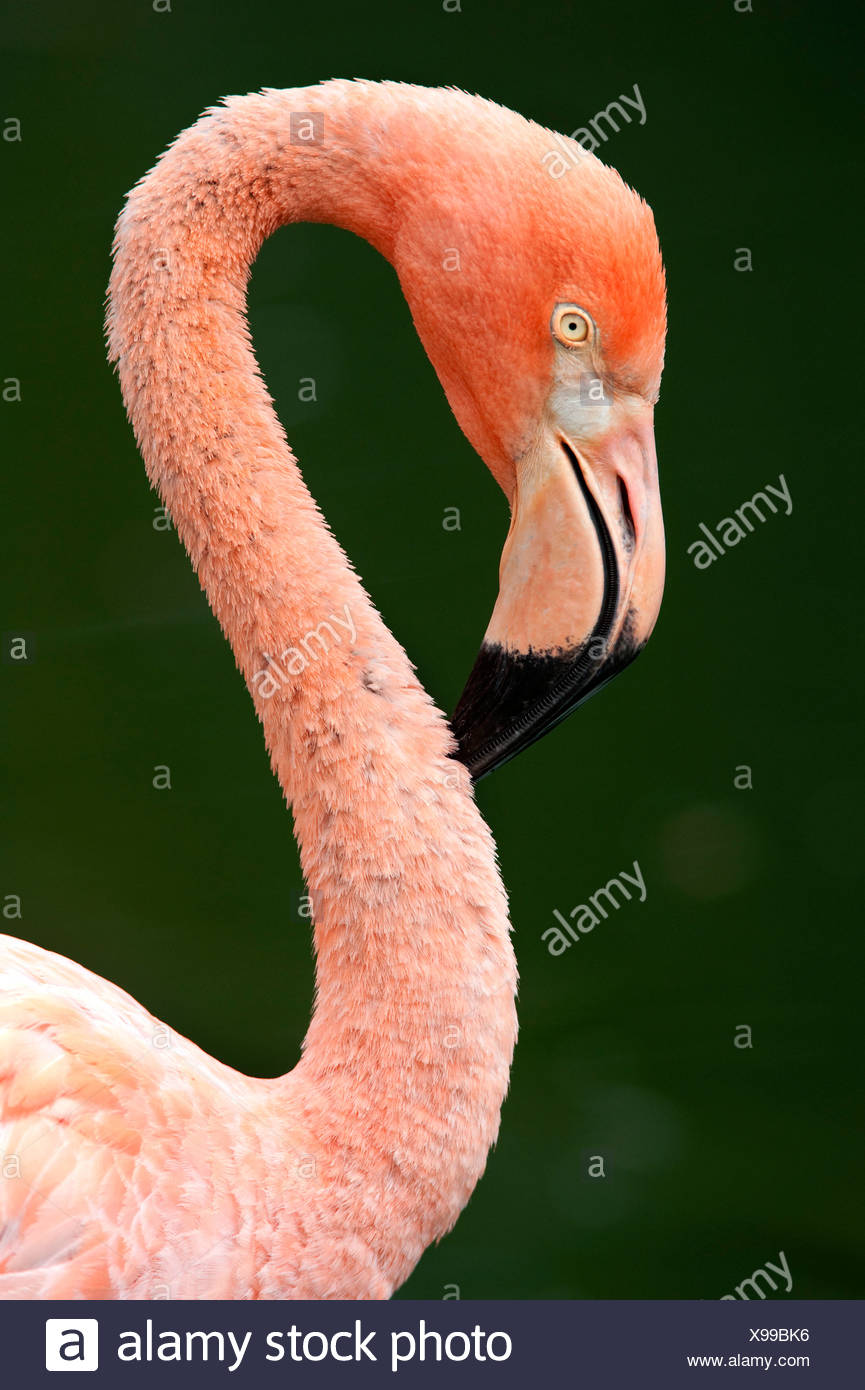 Cuban Flamingo Phoenicopterus ruber ruber Endangered Cites Appendix I pink long neck curve Stock Photo