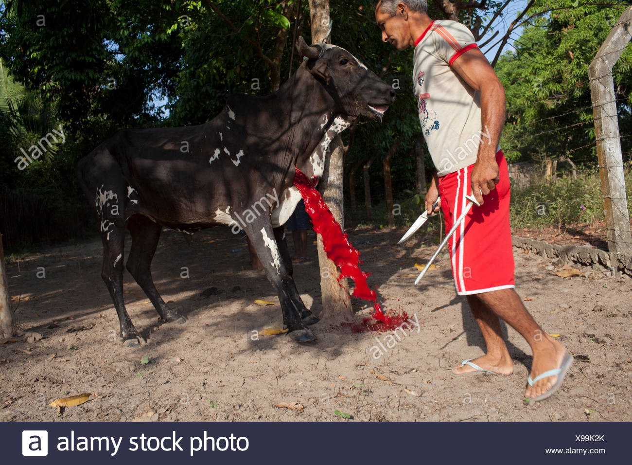 A cow is slaughtered for the Feast of the Divine Saint Spirit. - Stock Image