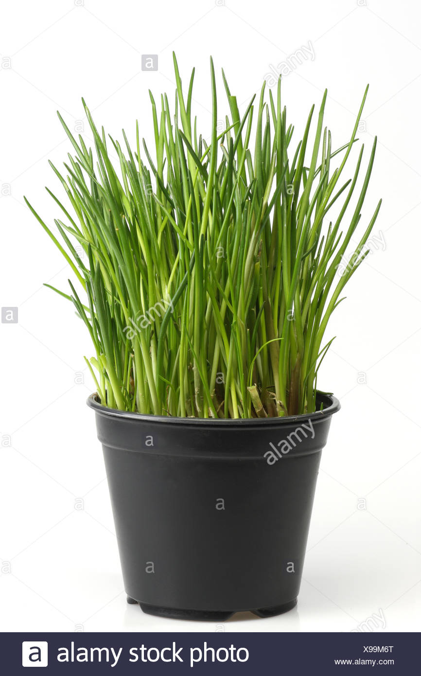 Image of: Chive Potted Herbs Chive Pot Stock Photo Alamy