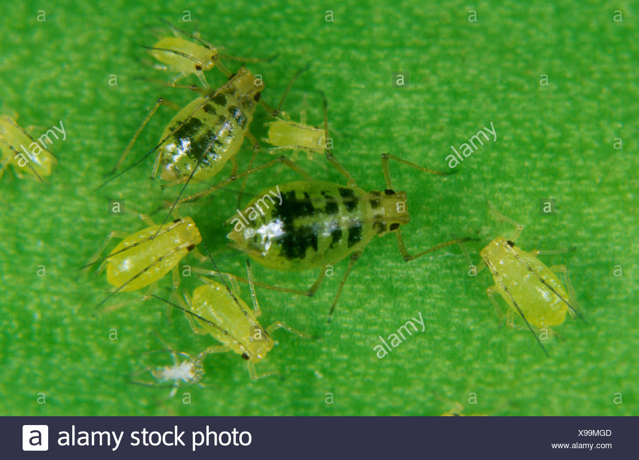 Mottled arum aphid Aulacorthum circumflexum female and juveniles on a leaf - Stock Image