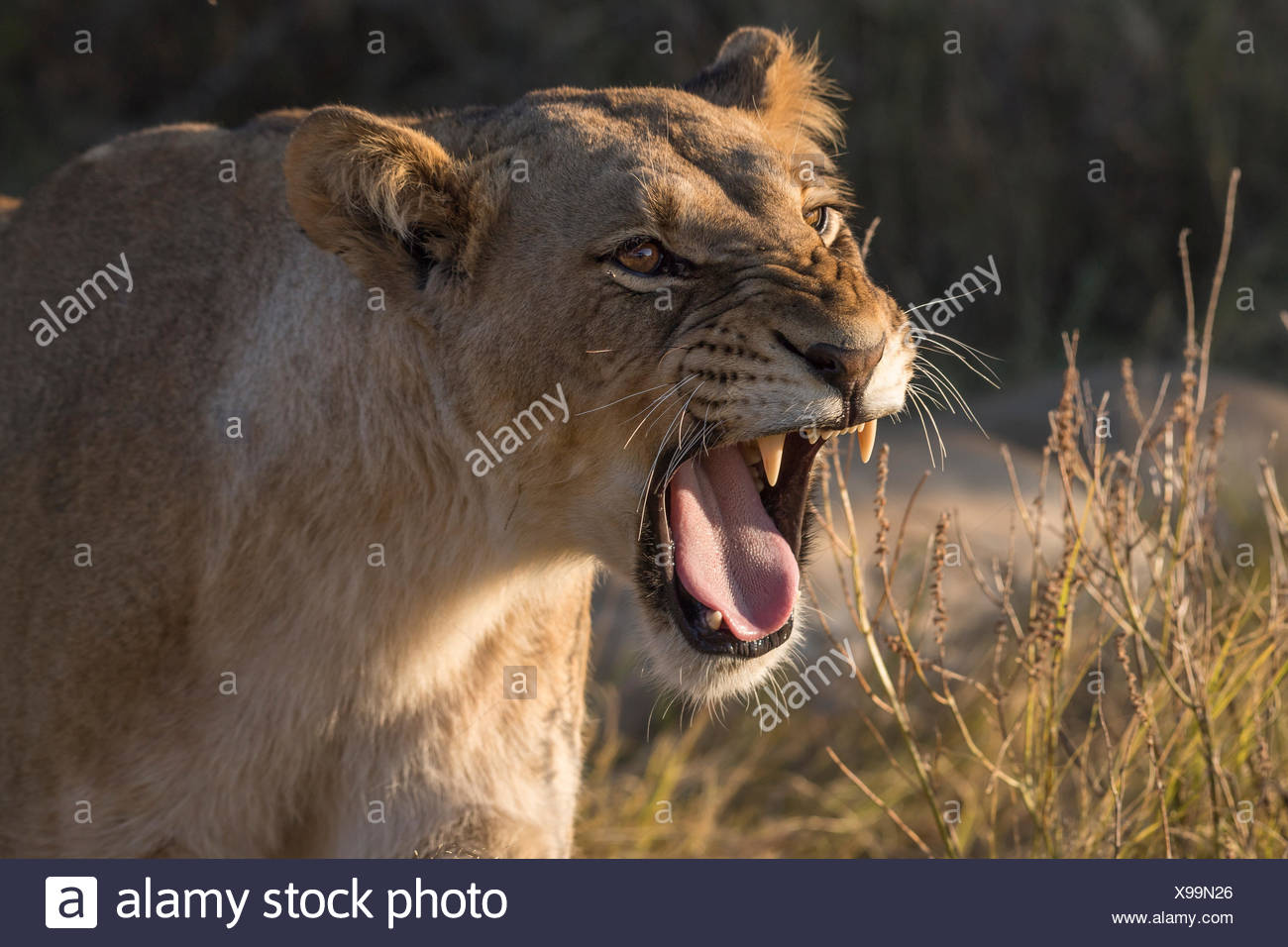 Lioness (Panthera leo) snarling, Chobe National Park, Botswana - Stock Image
