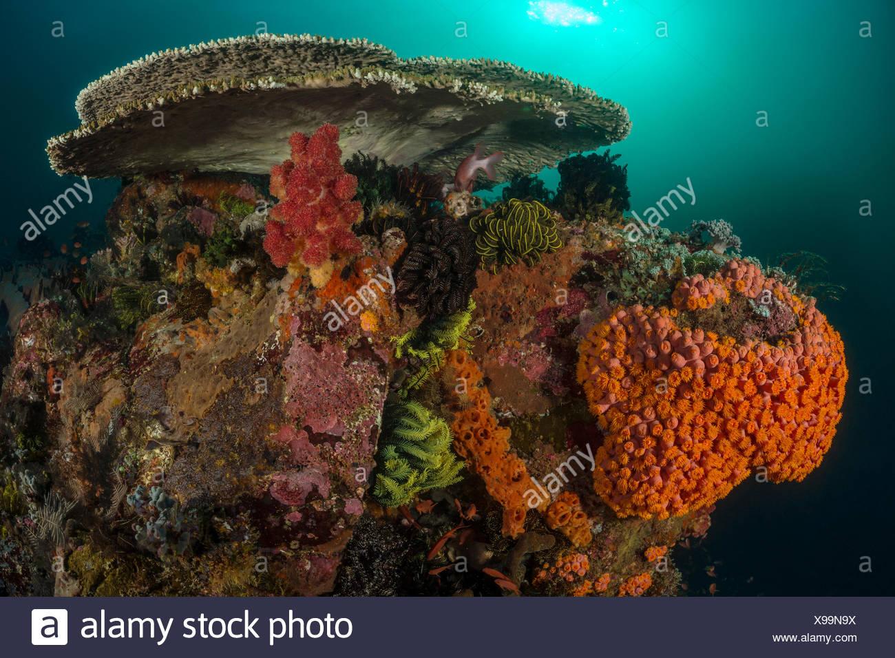 Colored Coral Reef, Tubastrea faulkneri, Komodo, Indonesia - Stock Image