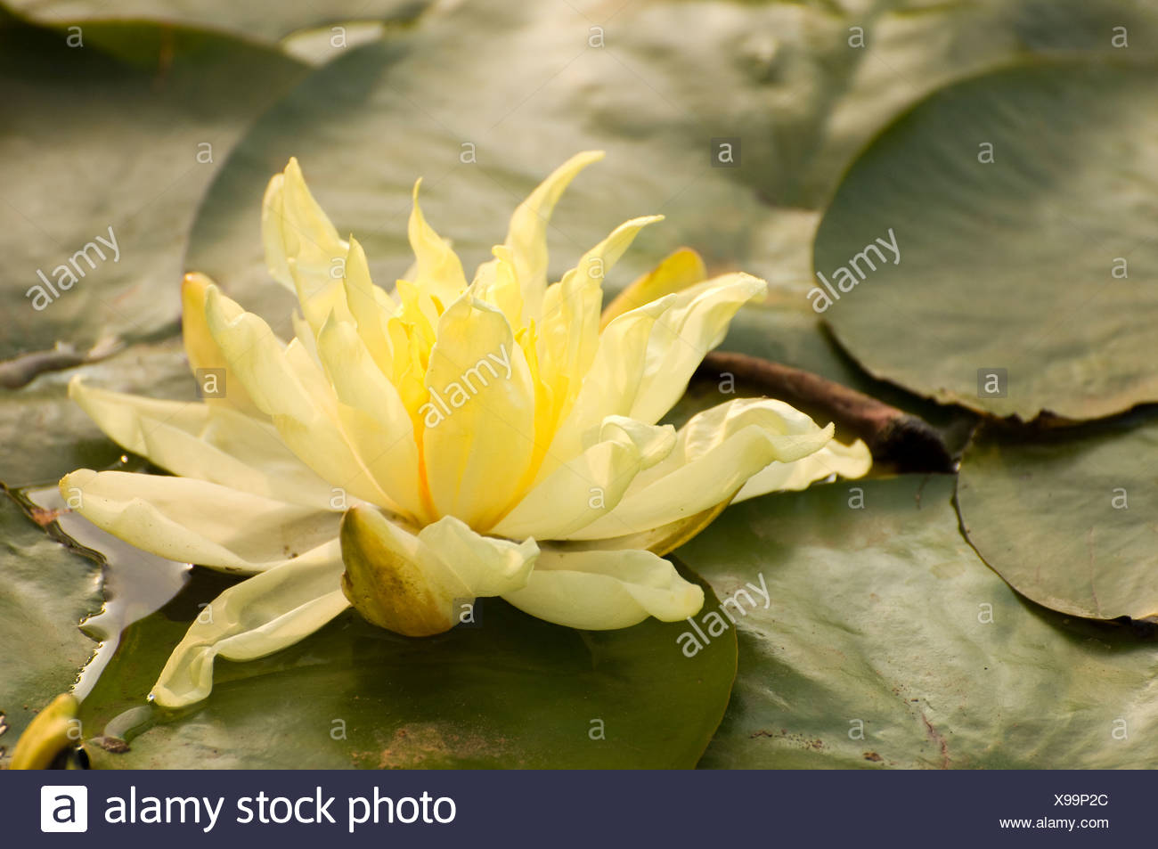 Close Up Of Yellow Lotus Flower Stock Photo 281112676 Alamy