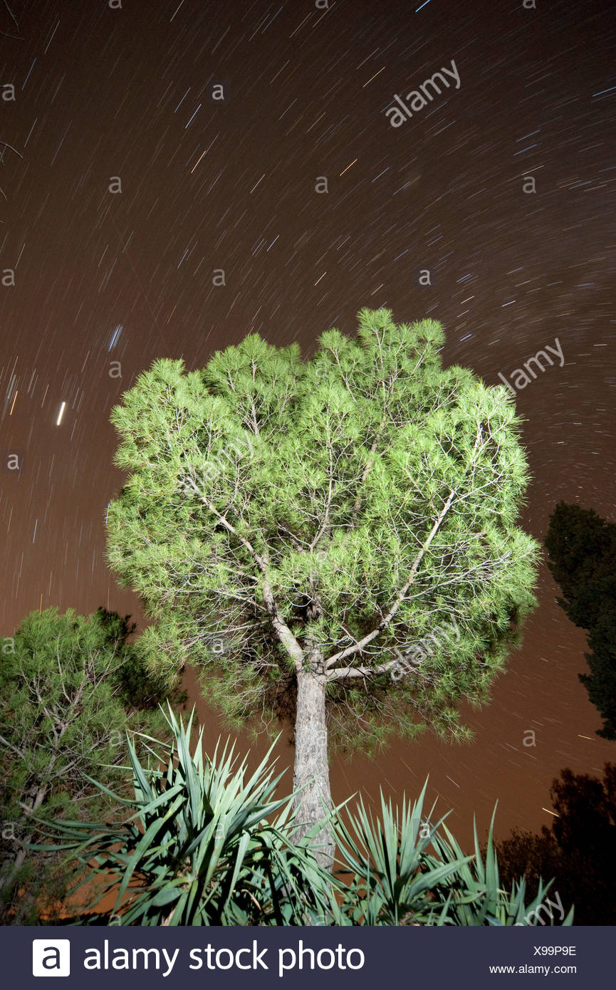 Italian stone pine tree Pinus pinea Stars in Night Sky Andalucia Spain - Stock Image