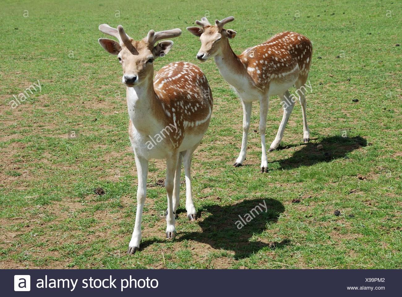 Fallow Deer (Dama dama). - Stock Image