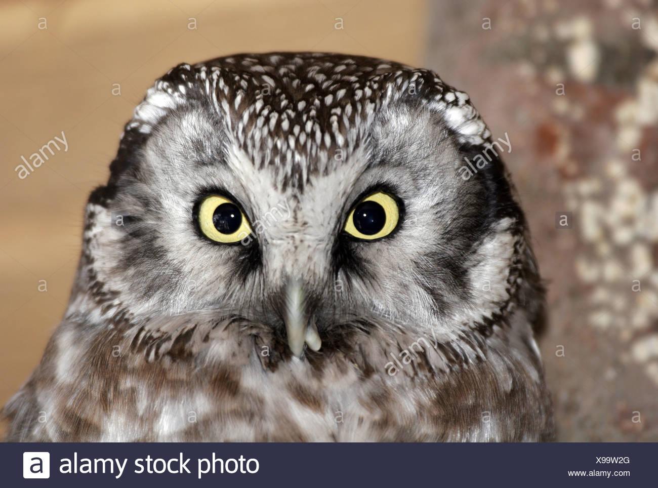 zoology / animal, avian / bird, strigidae, Tengmalm `s owl, (aegolius funereus), detail, head, Additional-Rights-Clearance-Info-Not-Available - Stock Image